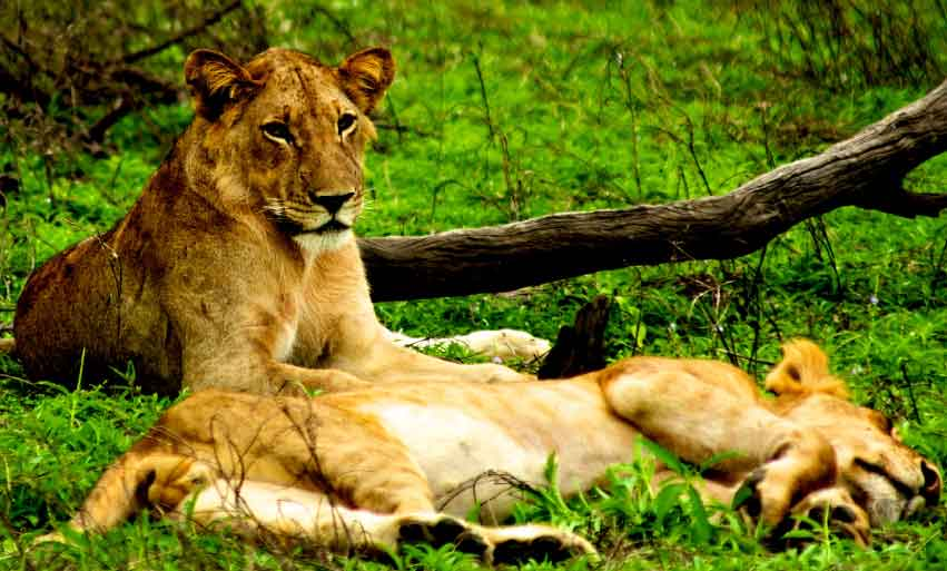 Lioness of Selous Game Reserve