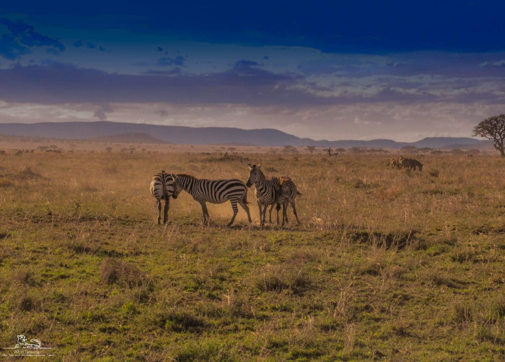 Zebra of Serengeti