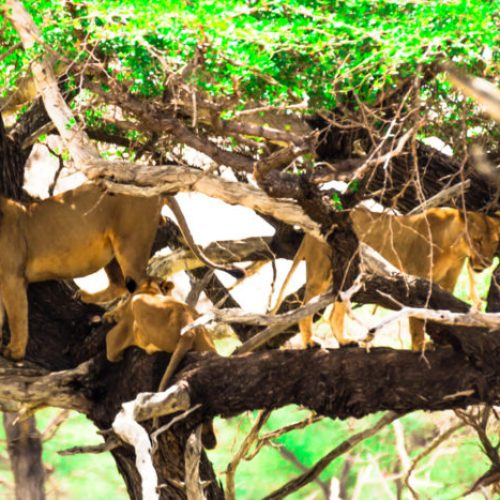 Lions in Selous Game Reserve