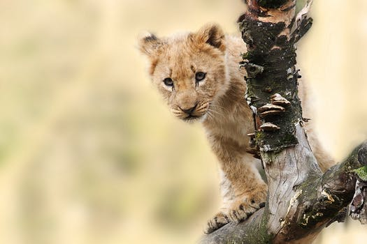 lion-animal-nature-predator-40835
