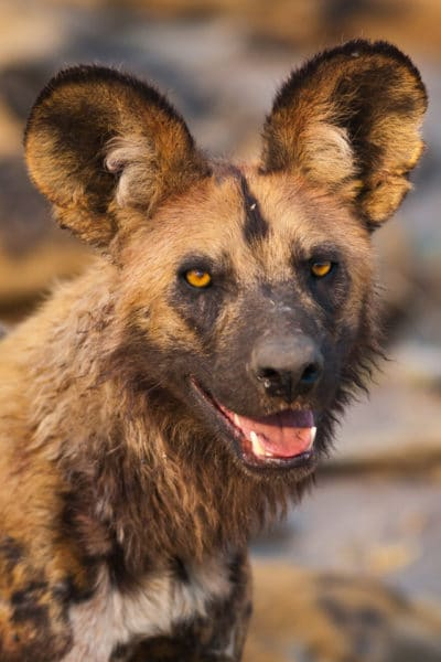 wilddogs-of-Serengeti